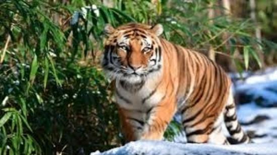 कोविड-19: न्यूयॉर्क में एक बाघ के कोविड-19 पॉजिटिव पाये जाने के बाद केन्द्रीय चिड़ियाघर प्राधिकरण ने भारत में चिड़ियाघरों को हाई अलर्ट पर रहने की सलाह दी